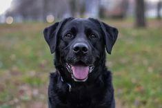 Der Labrador eignet sich hevorragend als Therapiehund. Wie der Ablauf so einer Ausbildung ist, und warum genau diese Rasse so gut geeignet ist: erfährst du heute auf dogbible.com Best Dog Breeds, Large Dog Breeds, Best Dogs, White Labrador, Golden Labrador, Labrador Retrievers, Retriever Puppy, Dog Breeds Pictures, Dog Pictures