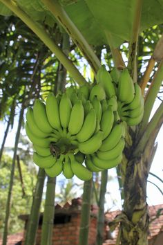Banana trees are a staple of many hot weather landscapes. While they're very decorative and are often grown for their tropical leaves and bright flowers, most varieties also produce fruit. Learn how to get banana trees to produce fruit in this article.