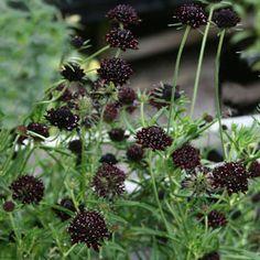 Scabiosa 'Chile Black', Praktvädd Artnamn: Scabiosa atropurpurea 'Chile Black'. Grågröna något ludna blad.Trivs bäst på lätt, humus- och näringsrik, kalkhaltig jord.Putsa regelbundet bort vissna blommor för att förlänga blomningsperioden.Används i rabatter. Fin och hållbar snittblomma, fin som torkad.Förökas genom delning.Förslag på fina grannar: Grekvädd, rött silverax, silvermartorn, jättevallmo 'Patty´s Plum', fjärilsbuske 'Black Knight'.Skyddat och väldränerat läge.