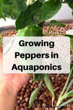 Aquaponics DIY Vegetables - Products Of Aquaponics Greenhouse - The Best Routes - Philip DIY Ideas Aquaponics Greenhouse, Aquaponics Diy, Aquaponics System, Hydroponic Gardening, Hydroponics, Organic Gardening, Indoor Gardening, Urban Gardening, Urban Farming