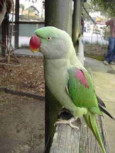Female Alexandrine Parrot