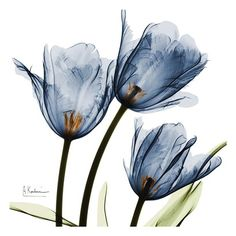 Art Print: Purple Trio Tulips by Albert Koetsier : Art Floral, Xray Flower, Tulip Flower Drawing, Flower Drawings, Cactus Flower, Tulip Tattoo, Blue Tulips, Yellow Roses, Pink Roses