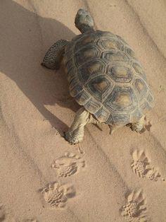 California desert tortoise :: love their footprints