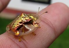 TheGolden Tortoise Beetle is a common North American beetle that can be found on Morning Glory leaves, their preferred food. They can change color, looking initially like tiny jewels, or golden ladybugs, however they alter the reflectivity of their cuticle so the outer layers become clear, revealing a ladybug-type of red color with black spots. This Golden Tortoise Beetle's change has been accomplished.
