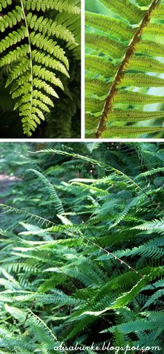 While the palm trees of Southern California (in my old life) were beautiful- I do have a soft spot in my heart for the wild ferns in Oregon-...