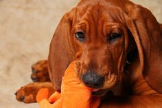redbone coonhound by Stephanie Gorman