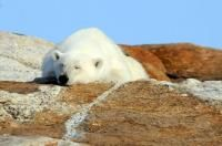 Polar bears during this trip swim, dive and sun themselves on the rocks, while they wait for freeze up in the fall.