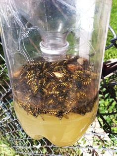 Homemade wasp trap. Finally found this again! Putting this on the balcony! - Click image to find more Gardening Pinterest pins