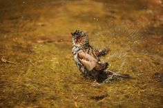 #sparrow #sperling #wet #water #bathing #nature #pleasure #feathers wet . @Cooliphone6Case help #animal #bird #lovers make your own photo to make personalized iPhone 5/ 5S/ 5C/ 6/ 6S Plus iPad Mini/ Air / Air 2 case laptop sleeve check out http://ow.ly/Ytgsg DB