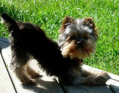 terrier html amazing yorkies for sale by a yorkie breeder dedicated to ...