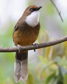 The White-throated Laughingthrush, found in the northern regions of the Indian subcontinent, primarily in the Himalayas