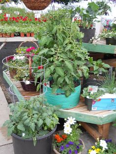 Tomatoes are growing fast, soon we will have tomatoes on the plants... - Plant Land, Kalispell, MT