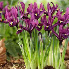 Iris reticulata J. Iris Garden, Garden Pots, Potted Garden, Garden Ideas, Iris Reticulata, Dwarf Iris, Flower Tea, Colorful Garden, Yard Landscaping