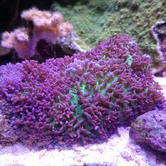 Corals rhodactis saltvatten