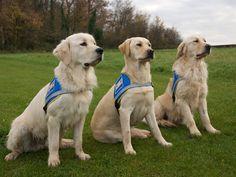 Chien guide d'aveugle Un chien guide d'aveugle est un chien utilisé par un déficient visuel pour faciliter sa vie quotidienne, et notamment ses déplacements. Ces chiens sont formés dans des écoles spécialisées, et remis à leur futur maître gratuitement....