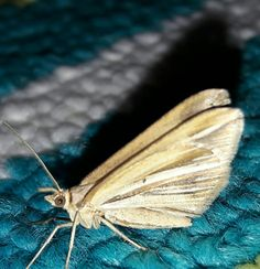Moth Moth, Insects, Pictures, Animals, Photos, Animales, Animaux, Animal, Animais