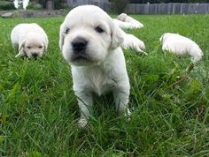 what a big world for such little babies (via Kyon Kennels on fb)