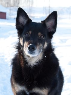Lapponian Herder dog photo | Recent Photos The Commons Getty Collection Galleries World Map App ...