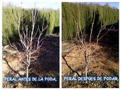 Cultivar el Huerto Casero.: La poda del peral. Poda de formación.