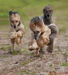 afghan hounds | Tumblr