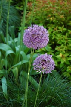 allium (flowering onions)