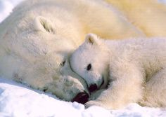 I love Polar Bears! I want them to stay on this plantet!