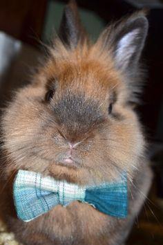 Lionhead bunny in his bow tie.CUTE!!!