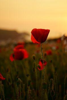Poppy fields by Craig Sharpe   #poppy #field #flower #cornwall #photography #sunset