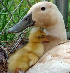 Our broody Indian Runner duck, Bluebill, hatched out one baby the day before Mother's Day. At one day old he was the cutest thing in the wor. Cute Baby Animals, Farm Animals, Animals And Pets, Funny Animals, Beautiful Birds, Animals Beautiful, Duck And Ducklings, Baby Ducks, Swans
