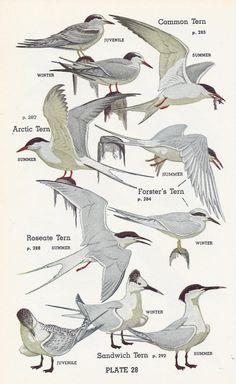 Vintage Audubon Bird Print, 1951, Water Birds | Vintage Buttercup via Etsy   (great for a beach house)