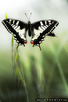 ~~Machaon by ~phonalys~~