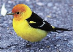 WESTERN TANAGER  Piranga ludoviciana  Bird Spotting: The male western tangier has a red head with bright yellow wing shoulders and belly. Wings are black with white and yellow wing bar markings. The female bird is a yellowish green on top with gray wings. The rump is yellowish.