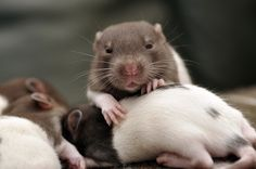 Rat pups by Jessica Florence