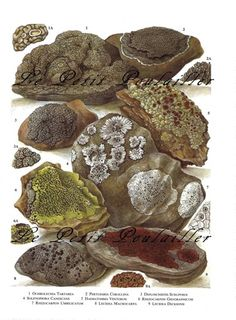 Mountain Lichens 1963 Botanical Lithograph for Your Garden Room ... in my shop now!