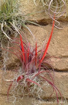 Tillandsia flabellata (flah-bell-AH-tah) is another one of those WOW species. Red leaves and a rare, multi-spiked coral inflorescence with violet flowers make this one attractive plant. Also like Tillandsia cyanea, this species can be grown in a potted in a fast-draining mix or mounted with sphagnum moss. Medium light is best. $12.00 http://www.rainforestflora.com/store/tillandsia/A10540/flabellata/