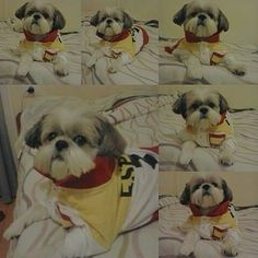 Eres precioso mi niño!! So precious my boy!! @shihtzulovers @shihtzusgram #shihtzuoftheday #shihtzuclub #shihtzu #shihtzulove #shihtzuofinstagramuse #cutedogsofinstagram #cutedogs #shihtzulove #shihtzumania #shihtzulovers #shihtzulovers2 #shihtzumix  by rocio_tomy  http://bit.ly/teacupdogshq