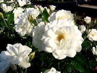 White Iceberg (Rosa)