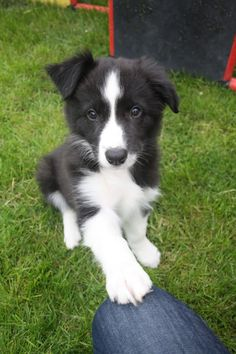 Border Collie Abby - Animals and pets - Puppies Border Collie Training, Border Collie Puppies, Collie Dog, Animals And Pets, Baby Animals, Cute Animals, Beautiful Dogs, Animals Beautiful, Beautiful Pictures