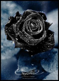 A blue rose is a symbol of the impossible. But the impossible often happens in Atonement TN. Blue Rose in Snow Love Rose, My Flower, Pretty Flowers, Flower Power, Big Flowers, Ronsard Rose, Rose Violette, Purple Roses, Red Purple