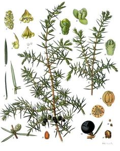Juniper Berry - Best for use with: Acne, Dermatitis, Eczema, Coughs, Depression, Infection, Increasing Circulation through the Kidneys, Kidney Stones, Liver Problems, Muscle Aches, Nerve Function and Regeneration, Obesity, Rheumatism, Ulcers, Urinary Infections, Water Retention and Wounds.