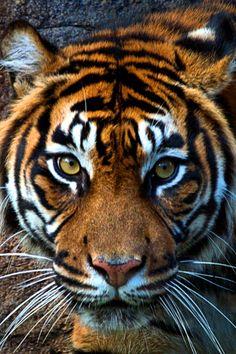 [zoo portraits] prey by Martyn Sommer Most Beautiful Animals, Beautiful Cats, Beautiful Creatures, Majestic Animals, Mundo Animal, My Animal, Otter, Lion Tigre, Gato Grande
