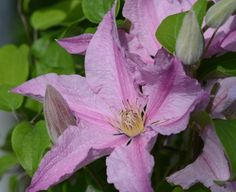 clematis sally 2014