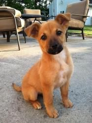 WANT!! BlueBelle is an adoptable Labrador Retriever Dog in Wilson, NC. Bluebell is an adorable 3 month old puppy. We expect her to grow up to be a medium sized dog as she is a mix of Lab, Shepard and a coupl...