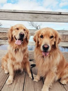Astonishing Everything You Ever Wanted to Know about Golden Retrievers Ideas. Glorious Everything You Ever Wanted to Know about Golden Retrievers Ideas. Retriever Puppy, Dogs Golden Retriever, Baby Golden Retrievers, Chien Golden Retriver, Funny Animals, Cute Animals, Cute Dogs Breeds, Cute Creatures, Dog Behavior