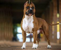 Khal Drogo - Amstaff Brasil Amstaff Terrier, Pitbull Terrier, Terriers, Khal Drogo, Pitt Bulls, American Pitbull, Bully Dog, American Staffordshire, Cane Corso