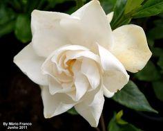 Meu cantinho verde: JASMIM-DO-CABO - ( Gardenia jasminoides )