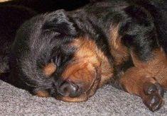 Rottweiler Breed, Rottweiler Love, Doberman, Pit Bull, Rotten, Fluffy Puppies, Boxer Love, Best Dog Breeds, Big Dogs