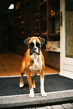 Boxers are the BEST dogs ever! Boxer Mom, Boxer And Baby, Boxer Puppies, Dogs And Puppies, Doggies, Dogs 101, Animals Beautiful, Cute Animals, Beautiful Dogs