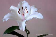 This picture is called White Lilly and we took this picture in our apartment in Australia.    flower photography, white flower, lilly, white lilly, Etsy, sale, flowers, home decor, cool home decor, home decor idea
