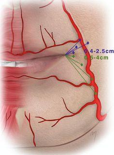 Image result for lip vascular anatomy